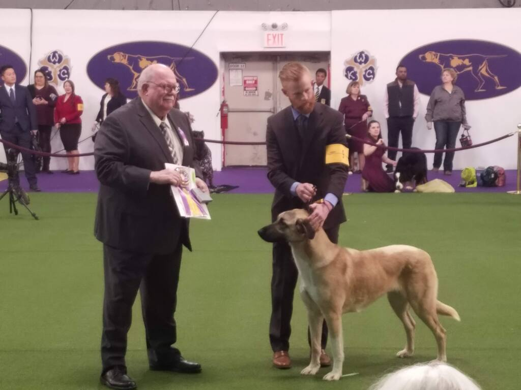 Timaru Tallulah, an Anatolian Shepherd from Bodega, won Best in Breed at the Westminster Dog Show Tuesday. (LESLEY AND JOHN BRABYN)