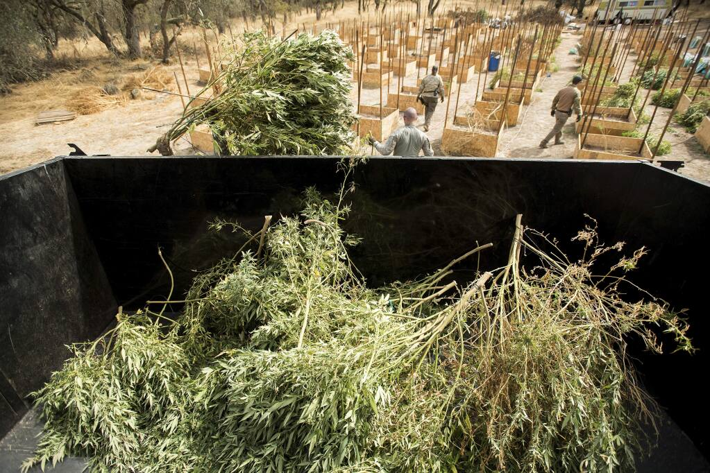 FILE - In this Sept. 29, 2017 file photo, sheriff's deputies seize marijuana from a growing operation in unincorporated Calaveras County, Calif. Calaveras County in rural Northern California county has reversed course and banned marijuana farms, opening itself to lawsuits from growers who previously received permits and paid taxes. (AP Photo/Noah Berger,File)