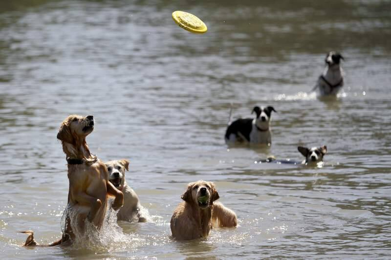 From left, Mulder, Xiana and Nicole keep close watch on an incoming frisbee during the Water Bark at the Spring Lake Park Swimming Lagoon in Santa Rosa, California on Sunday, Sept. 18, 2011. (Beth Schlanker/ The Press Democrat, 2011)