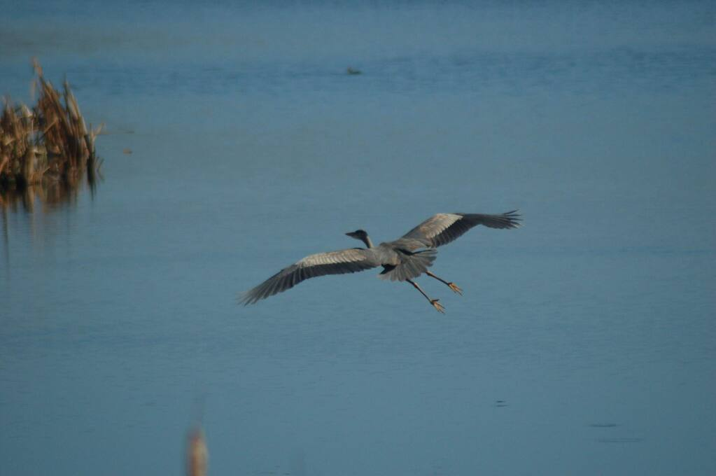 tracy salcedoA great blue heron glides over the waters of Abbotts Lagoon in the Point Reyes National Seashore.
