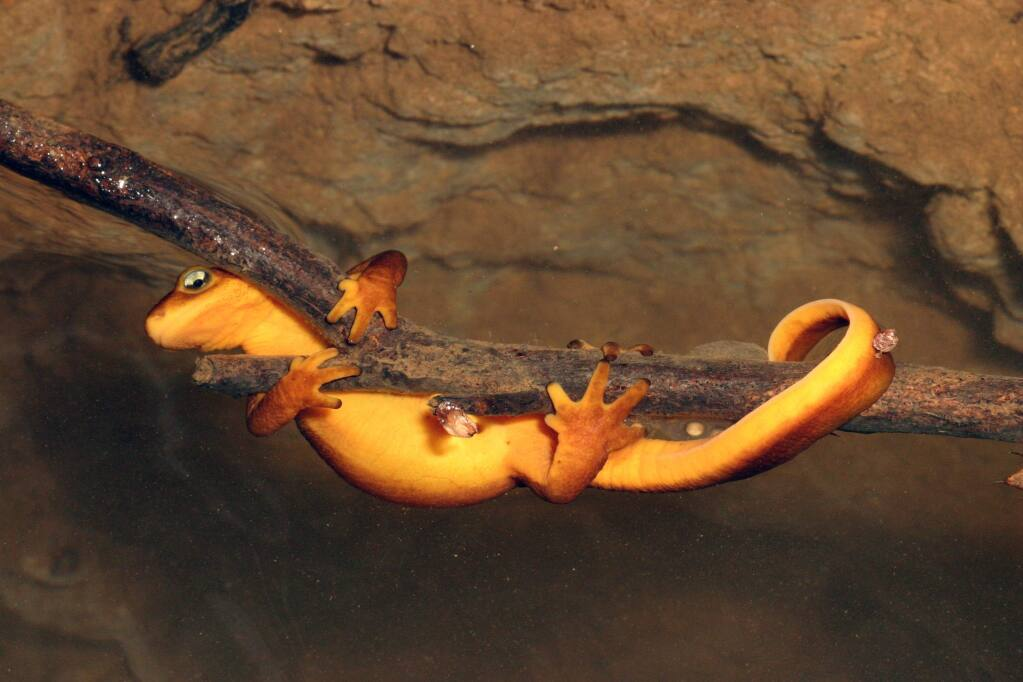A California newt (Taricha torosa) clings to a branch underwater in a small stream in Napa County. (Michael Bernard)