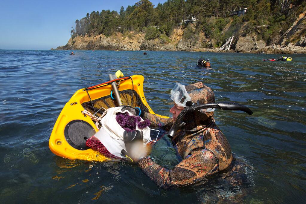 Volunteer diver Che Casul fills a bag with purple sea urchins gathered at Ocean Cove on Saturday. The divers gathered to reduce over-populations of purple sea urchins who are upsetting the balance of life on the Sonoma Coast. (photo by John Burgess/The Press Democrat)