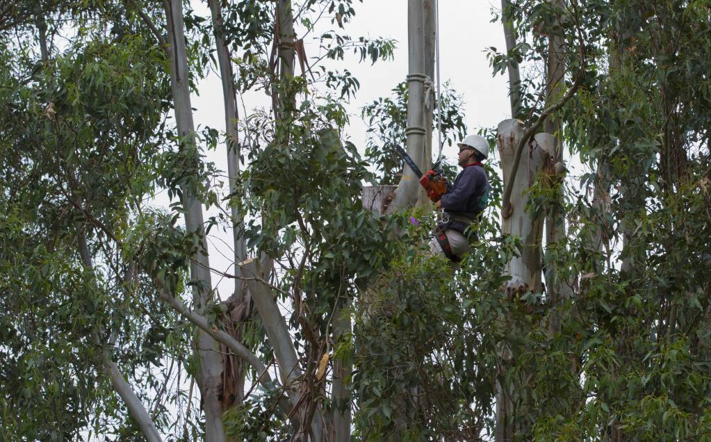 Workers from Sonoma County Tree Experts chainsawed then removed large branches from the tops of several eucalyptus trees in Depot Park on Monday, April 11, 2016. (Robbi Pengelly/Index-Tribune)