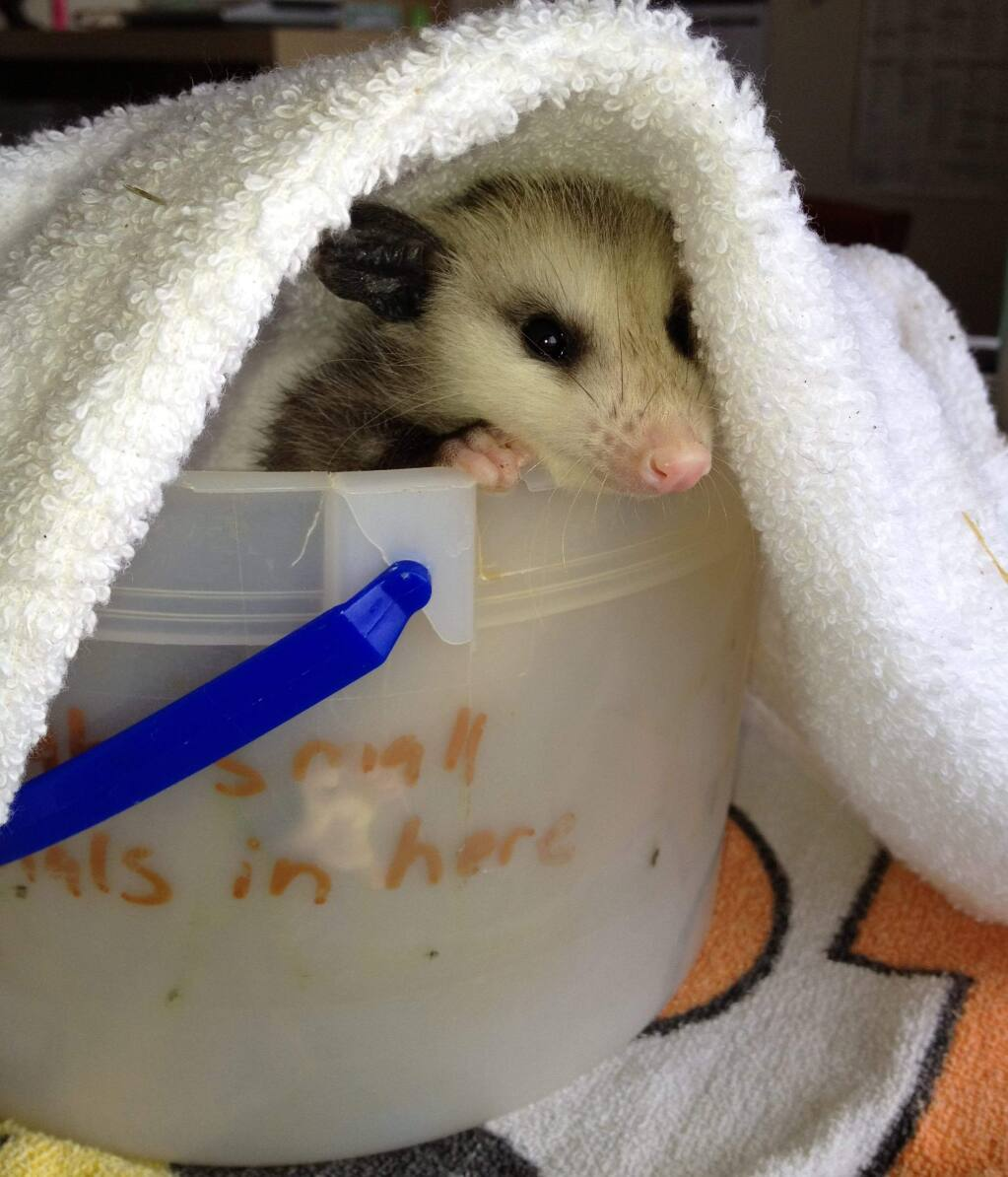 Photos by Sonoma County Wildlife rescueAnimals will often seek out warm and dry areas to have their babies. Raccoons prefer attics, while skunks prefer lower areas, such as crawl spaces.