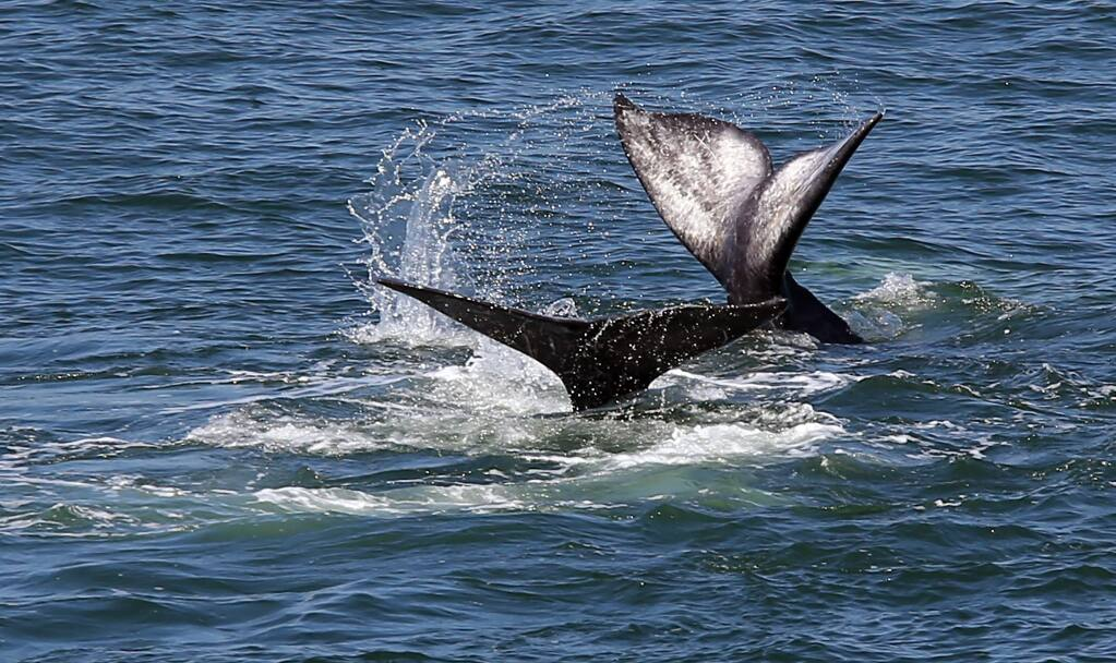 A pair of gray whales make their way north during their migration past Bodega Head on Thursday, May 1, 2014. (Christopher Chung/ The Press Democrat)