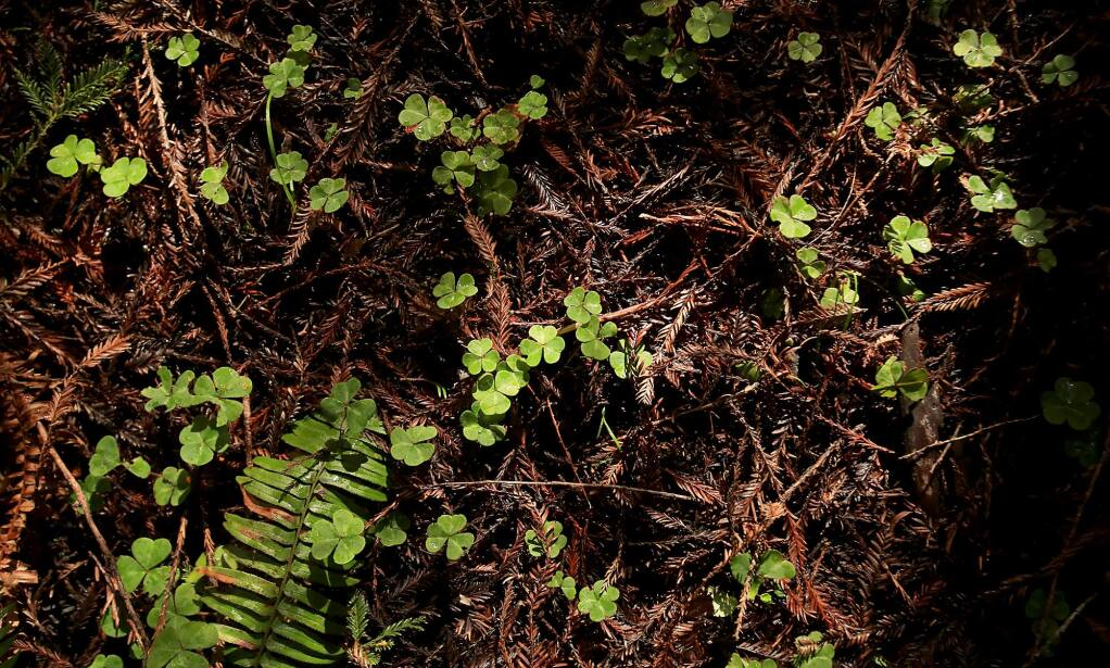 Clover on the forest floor of Stewarts Point Ranch, Wednesday Feb. 22, 2017. (Kent Porter / The Press Democrat) 2017