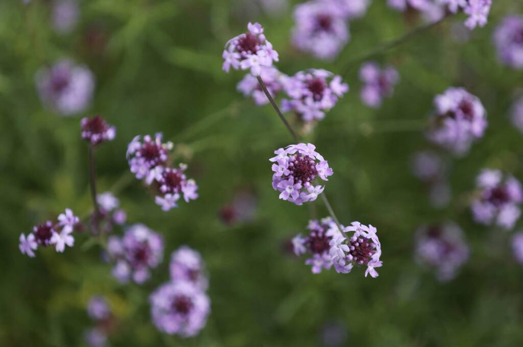 California Verbena blooms in a garden designed by April Owens, executive director of the Habitat Corridor Project, at the home of Niessa and Steve Diehl in Santa Rosa on Monday, March 16, 2020. (BETH SCHLANKER/ The Press Democrat)