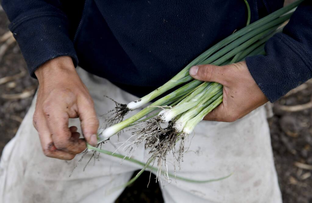 Scallions, also known as green onions, have hollow stems, as do their little cousin, chives, which are in full bloom right now. (Beth Schlanker / The Press Democrat)