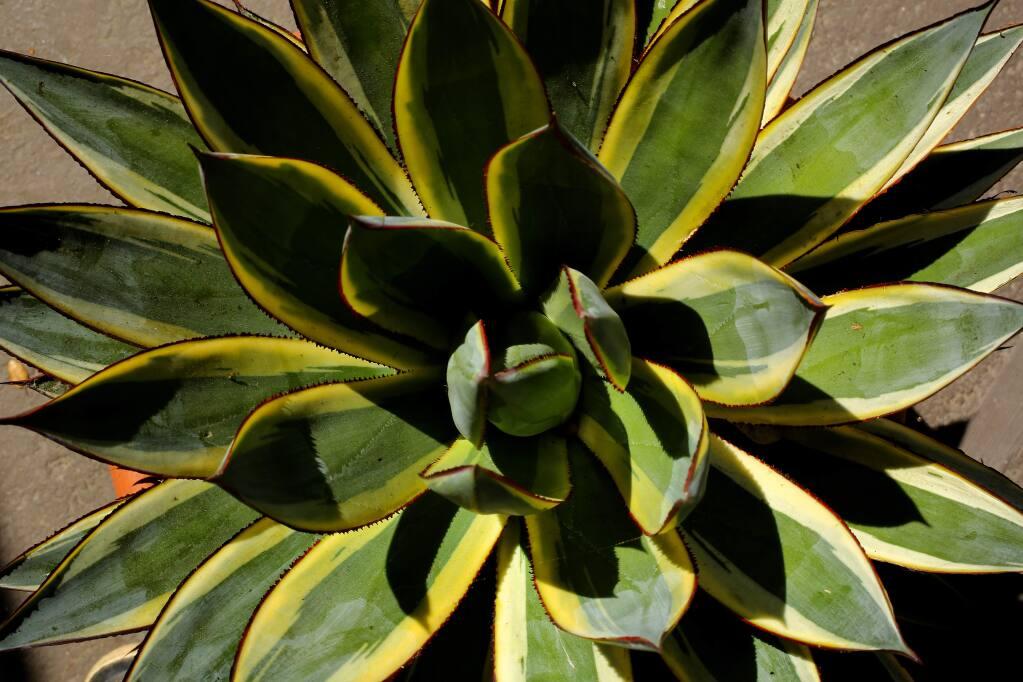 Agave 'Snowplow 2' in the Sebastopol succulent garden of Sonoma County Master Gardener Anne Lowings. (JOHN BURGESS/The Press Democrat)