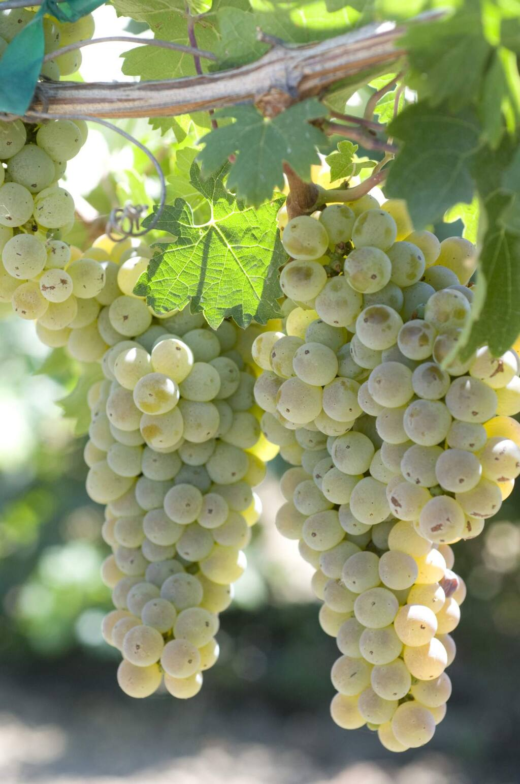 Caminante blanc, a Pierce's disease-resistant white grape variety released in late 2019, has characteristics of both sauvignon blanc and chardonnay, key grapes grown in Lake and Sonoma counties, respectively, for vintners. (photo by Dan Ng / University of California, Davis)