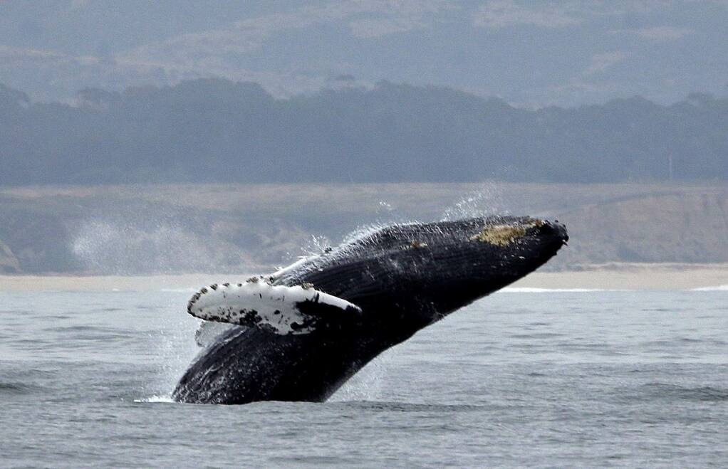 FILE - In this Monday, Aug. 7, 2017 file photo, a humpback whale breeches off Half Moon Bay, Calif. A conservation group says the number of whales entangled in crab fishing gear along the West Coast dropped by nearly half this year after a lawsuit settlement ended California's commercial Dungeness crab season early. The Center for Biological Diversity says preliminary data released by the National Marine Fisheries Service shows 18 whale entanglements were reported in the first eight months of 2019, down from 42 reports during that same period in 2018. (AP Photo/Eric Risberg, File)