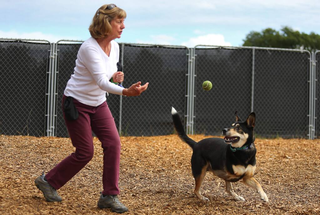 Sonoma Humane Society volunteer throws a ball for Mason, in Santa Rosa, on Tuesday, May 24, 2016. Mason was returned to the shelter after his family lost their home.(Christopher Chung/ The Press Democrat)