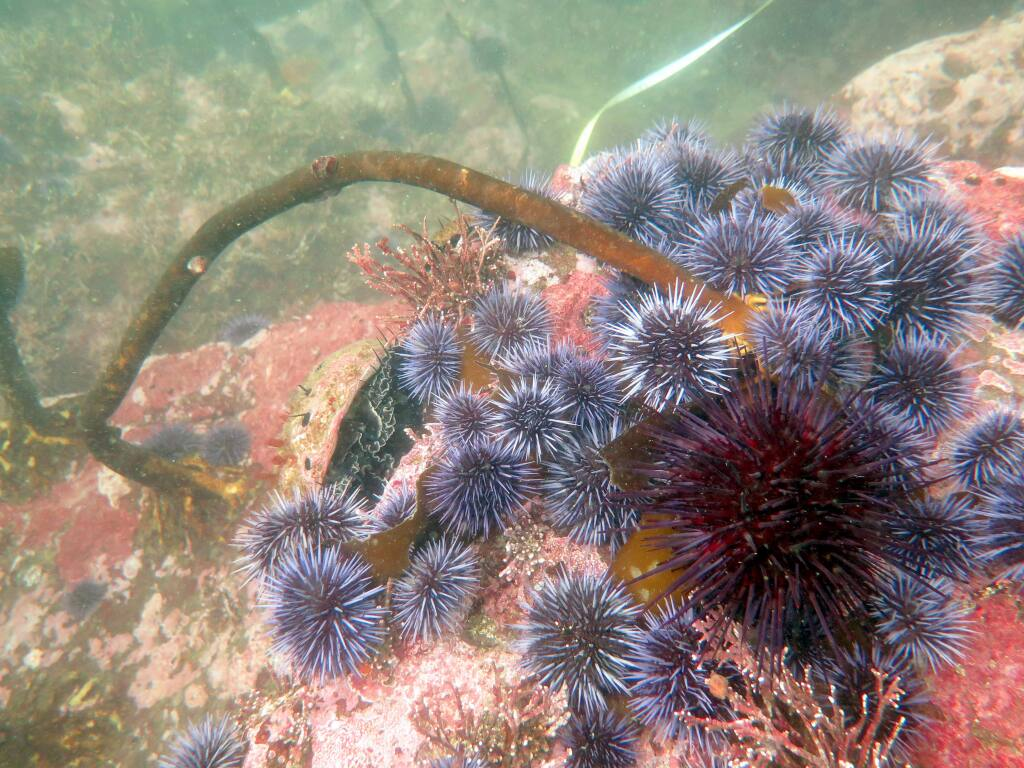 Large aggregations of purple urchins are wiping out kelp forests, creating pink barrens and out-competing other species such as abalone for space and food.
