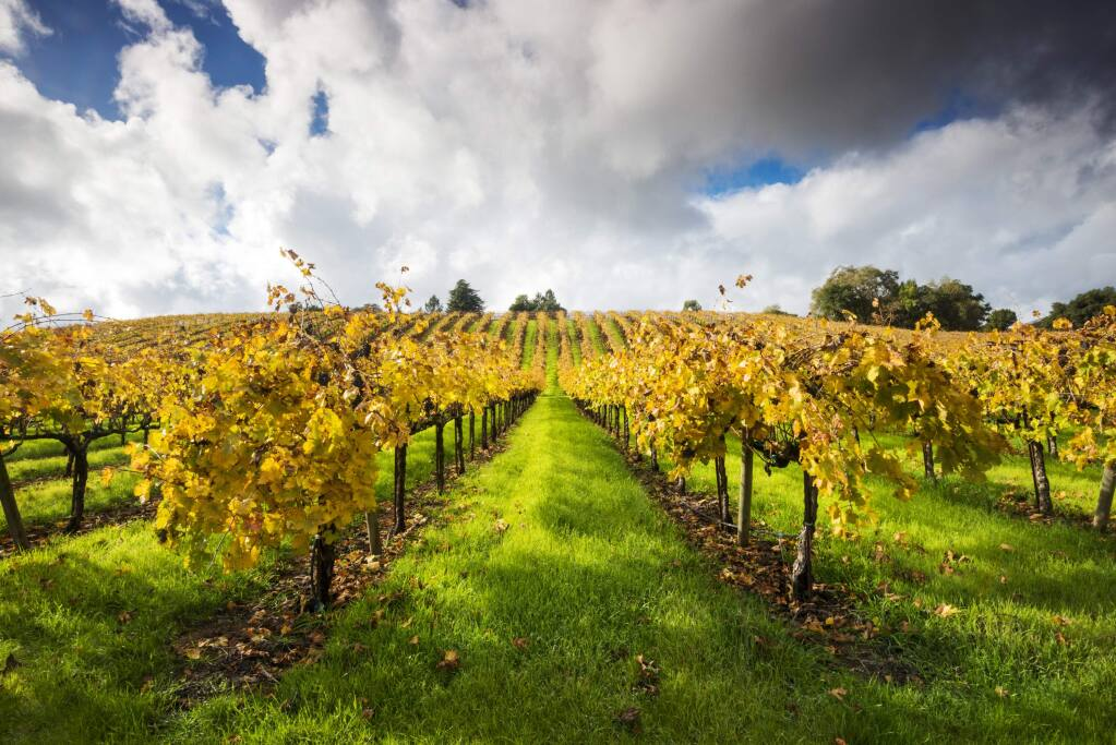 Vineyards in beautiful fall color in the Russian River Valley wth dramatic clouds overhead near Healdsburg, California.