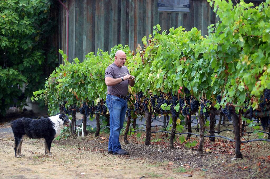 Longboard Vineyards owner and winemaker Oded Shakked, accompanied by his dog, Bear, checks the sugar levels in a syrah vineyard, in Healdsburg on Thursday, September 18, 2014. (Christopher Chung/ The Press Democrat)
