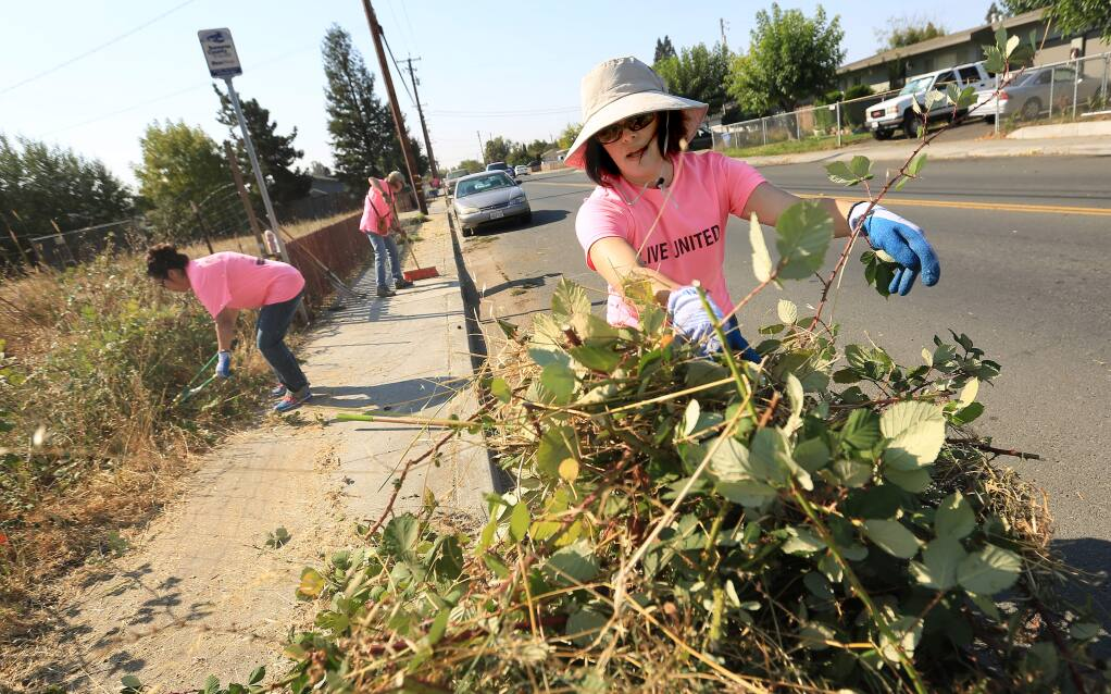 County health department employee Kelly Elder loads blackberry brambles in to wheel barrow, Wednesday Sept. 10, 2014 during the Day of Caring along Moorland Ave in Santa Rosa. (Kent Porter / Press Democrat) 2014