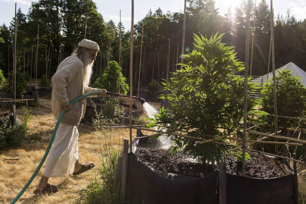 Swami Chaitanya waters a crop of marijuana plants at a small, off-the-grid medical marijuana farm in Mendocino County. (JASON HENRY / New York Times, 2014)