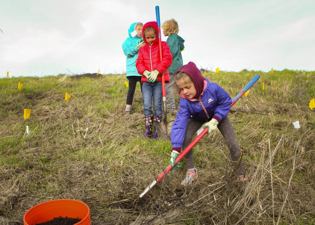 Petaluma, CA, USA. Tuesday, December 17, 2019._ Ava Marshall, 7, takes a turn at digging a hole. Students from Grant Elementary School's second grade participated in Point Blue's STRAW (Students and Teachers Restoring A Watershed) program where they helped plant native grass in Shollenberger Park. (CRISSY PASCUAL/ARGUS-COURIER STAFF)