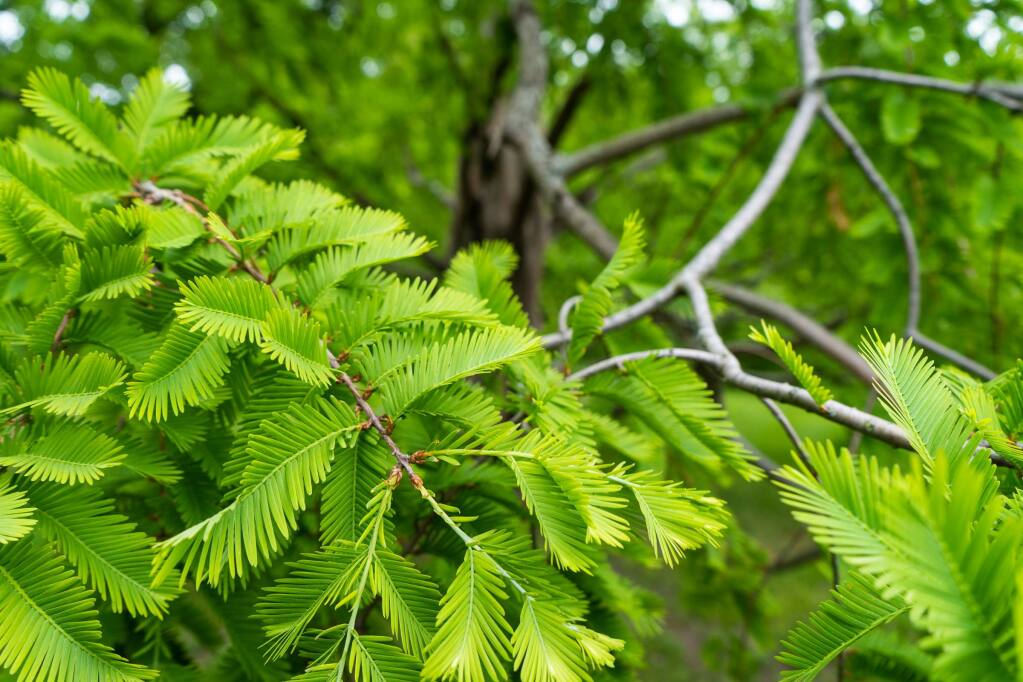 The Dawn redwood tree is botanically known as Metasequoia glyptostroboides. It is a fast grower, and can reach a height of 70 to 120 feet and a width of 25 feet. It thrives in locations that receive at least 6 hours of sun daily, tolerates moist soils and some poor drainage. (Jakob Weyde)