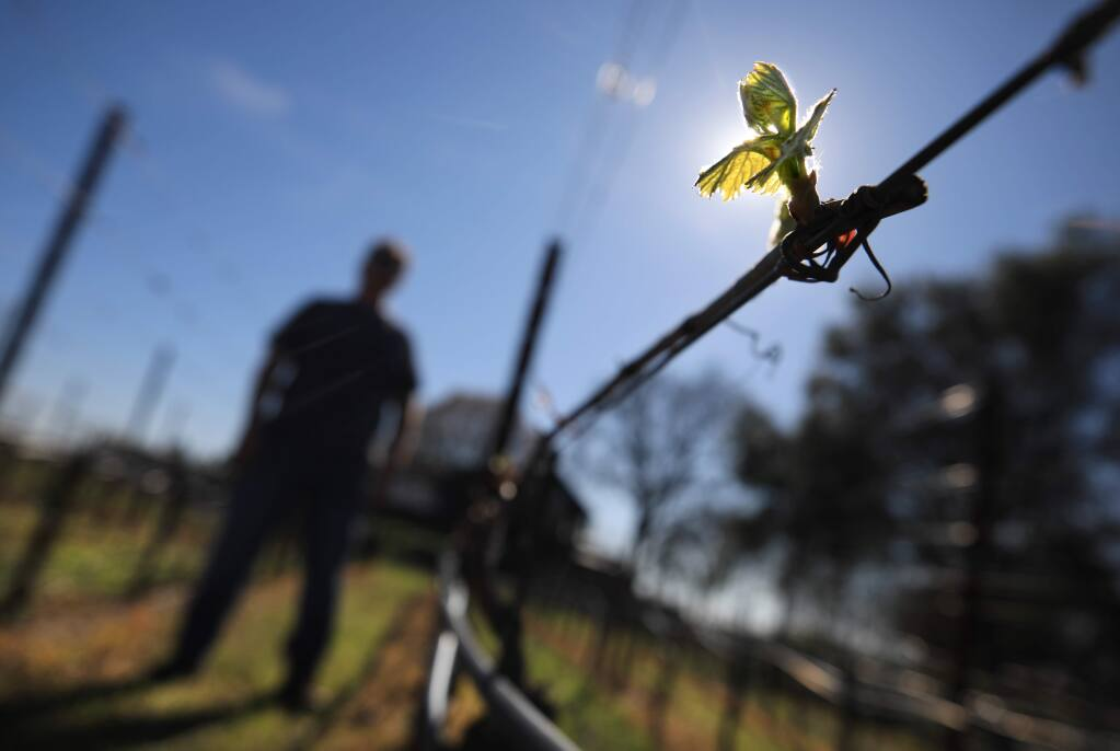 Benovia Winery co-owner and winemaker Mike Sullivan has bud break on Benovia's chardonnay wine grapes in their organic Martaella vineyard in Santa Rosa, Wednesday, Feb. 26, 2020 in Santa Rosa. Bud break is about a month earlier than 2019. (Kent Porter / The Press Democrat) 2020