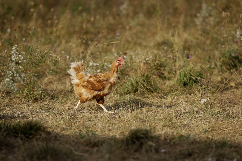 A chicken struts inside a fenced pasture on the Francis Blake organic farm, Wednesday, Oct. 21, 2015, near Waukon, Iowa. Blake gathers an average of 2,500 dozen eggs a week from his flock of 5,000 cage-free hens. An increasing customer demand for more eggs from chickens free from cages has left U.S. egg farmers with the question of whether to spend millions of dollars to convert or build cage-free barns. (AP Photo/Charlie Neibergall)