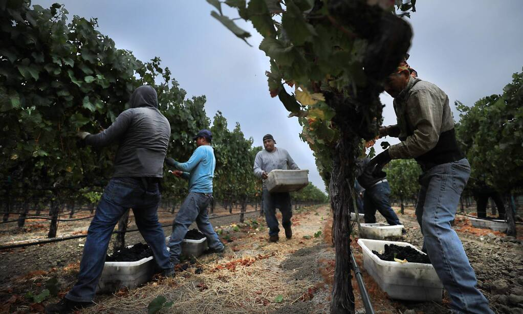 The 2017 wine grape harvest gets underway as Nord Vineyard Service workers pick a Mumm Napa pinot noir vineyard in American Canyon, Monday August 7, 2017. (Kent Porter / The Press Democrat) 2017