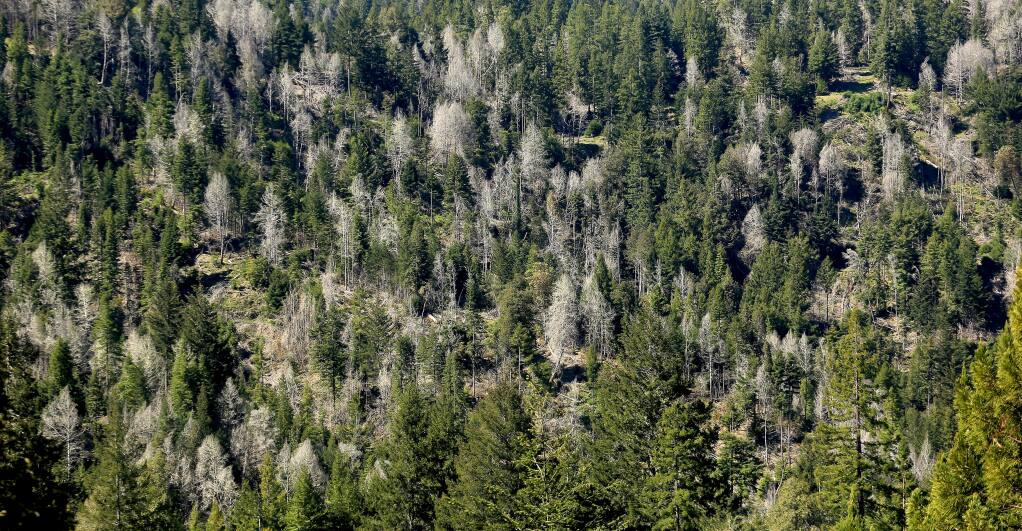 Poisoned trees, which turn silver after dying, dot a hillside in the Comptche area The land is owned by Mendocino Redwood Company (MRC) and uses the hack-and-squirt method to kill oak trees in order to bring back a redwood canopy, Friday April 17, 2015. Kent Porter / Press Democrat)