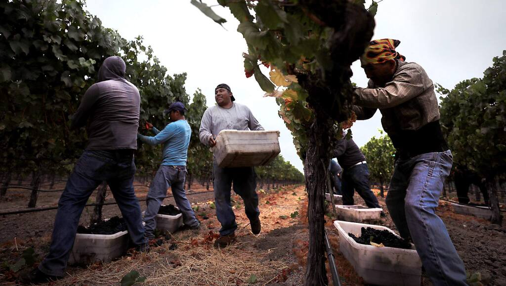 Mumm Napa vineyard workers pick pinot noir as the first day of the wine grape harvest gets underway in American Canyon in Napa Valley, Monday August 7, 2017. (Kent Porter / The Press Democrat) 2017