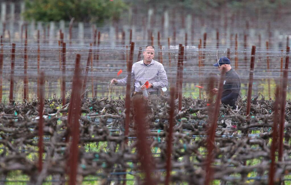 Napa law enforcement personnel place markers as they walk through a vineyard along Solano Avenue and Hoffman Lane as they investigate a shooting, south of Yountville on Monday, March 16, 2015. (CHRISTOPHER CHUNG/ PD)