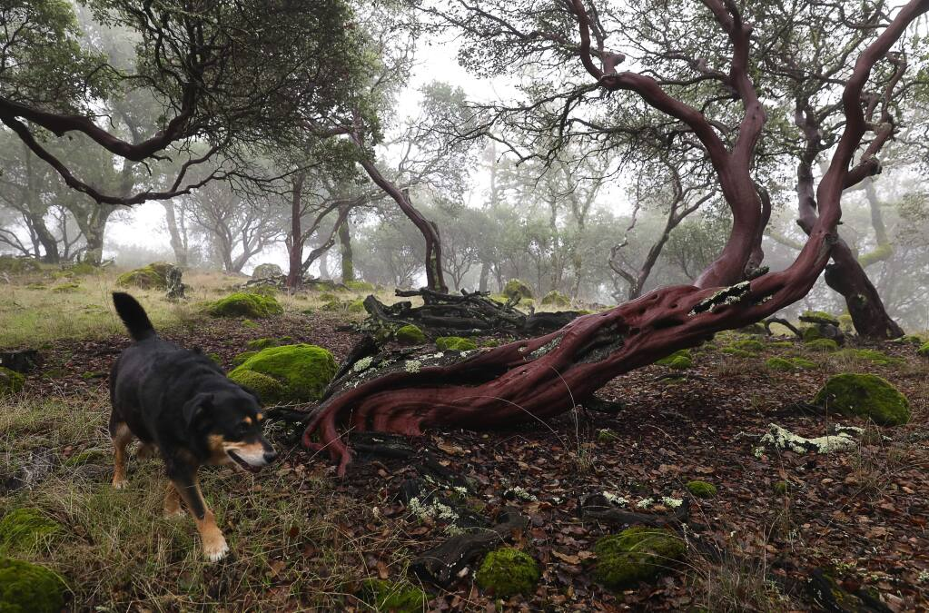 Ray Krauss' dog, Darla, trots past a manzanita on Krauss' upper Mark West watershed property, near Santa Rosa on Thursday, December 20, 2018. Krauss has granted Sonoma Land Trust a conservation easement that will permanently protect the 60-acre property in the foothills of the Mayacas Mountains.(Christopher Chung/ The Press Democrat)