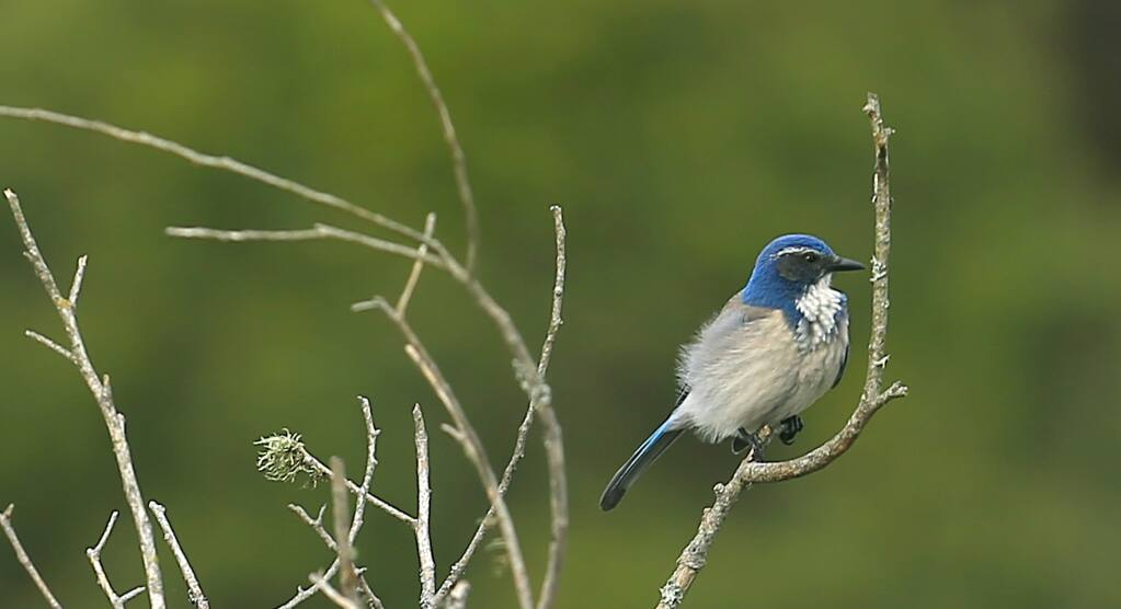 A western scrub jay winters at the Hole in the Head in Bodega Bay in 2014. (KENT PORTER/ PD FILE)