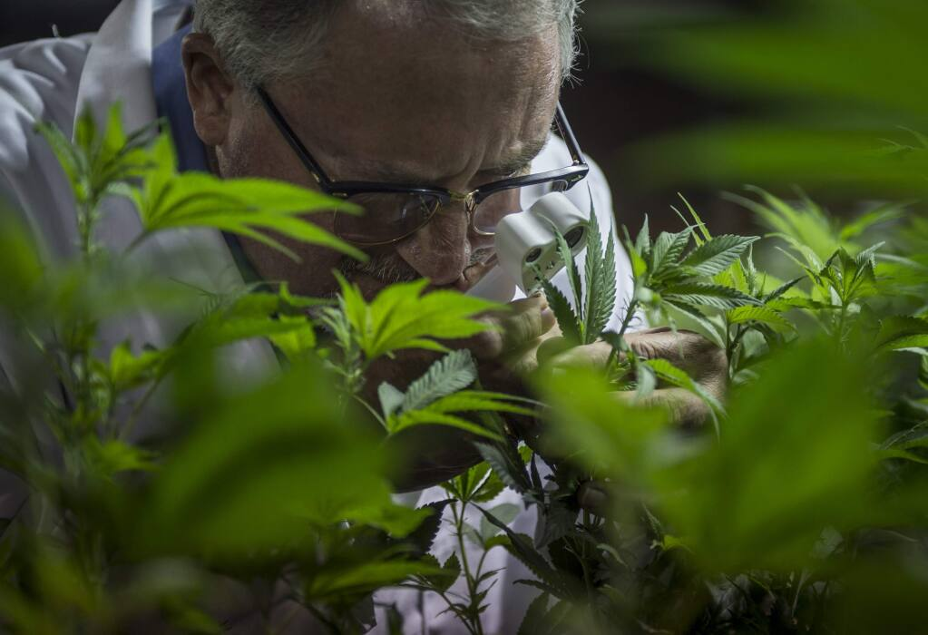 Dan Osborne, 54, inspects his cloned marijuana plants for invasive insects on Tuesday, Feb. 16, 2016, in the Coachella Valley. Osborne, who founded a cannabis plant-breeding company called Clonetics Laboratories, is now a licensed marijuana cultivator with Desert Hot Springs. Osborne and his six employees breed, cultivate and nourish cannabis plants under conditions that prevent them from blooming buds. His company then wholesales the plants at low cost to medical growers who bring them to flower and harvest marijuana for sale. (Andrew Seng/Sacramento Bee/TNS)