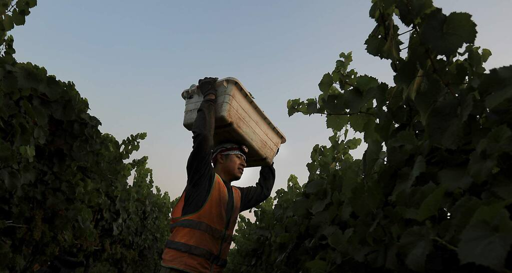 A vineyard worker delivers chardonnay to a bin at Bowtie Vineyards in Healdsburg, Friday Sept. 1, 2017, picked for J Vineyards and Winery. Grape growers are scurrying to get the grapes in due to the heat wave. (Kent Porter / The Press Democrat) 2017