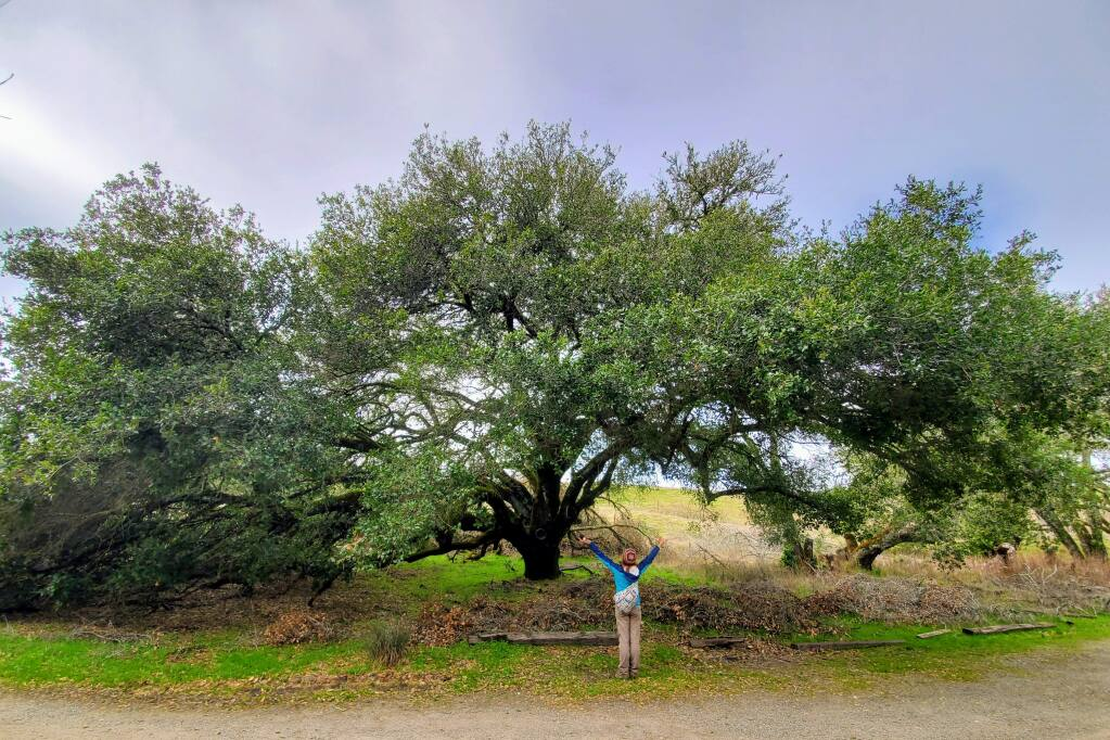 Sudden oak death in California was first documented at the Fairfield Osborn Preserve, overseen by Sonoma State University's Center for Environmental Inquiry. (Kerry Wininger/Center for Environmental Inquiry)