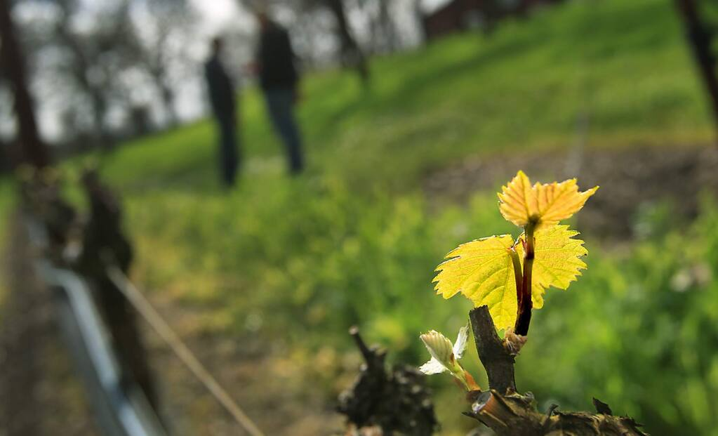 Pinot noir vines break their winter hibernation, Thursday, Feb. 18, 2016, in a vineyard near Windsor, marking the start of the growing season. The near-normal bud break timeframe is tempered by threats of freezing temperatures that could damage the vines. (Kent Porter / Press Democrat)