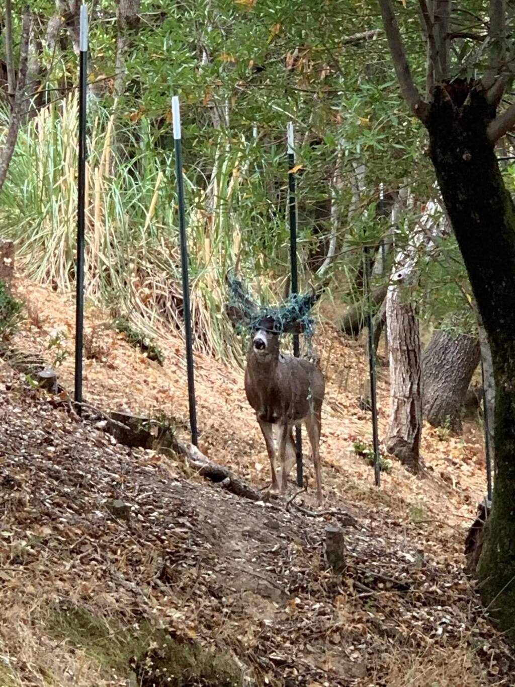 The Marin Humane Society spotted a buck with Christmas lights tangled in his antlers the week of Thanksgiving. Because bucks are hard to catch, the decorations will remain on the animal's antlers until they shed this winter. (Marin Humane/Facebook)