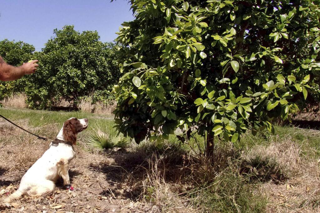 In this April 2016 photo provided by the United States Department of Agriculture, detector canine 'Bello' works in a citrus orchard in Texas, searching for citrus greening disease, a bacteria that is spread by a tiny insect that feeds on citrus trees. (Gavin Poole/USDA via AP)