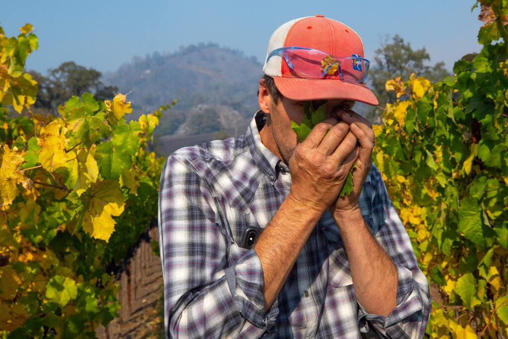 Justin Miller, owner of Garden Creek Vineyards, smells a handful of grape leaves, which is one method to check for signs of smoke taint, as the Kincade Fire continues to burn around Geyserville, California, on Friday, October 25, 2019. (Alvin Jornada / The Press Democrat)