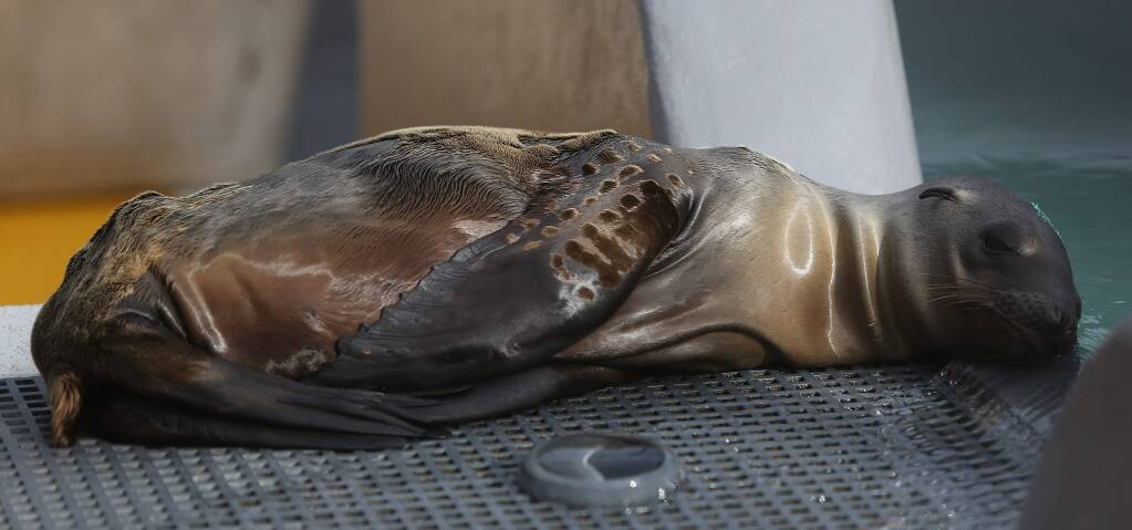 Kelly, a male California sea lion, was rescued in Santa Barbara. The emaciated sea lion was suffering from malnutrition and pneumonia but is now being treated at the Marine Mammal Center in Sausalito, Tuesday, February 3, 2015. (Crista Jeremiason / The Press Democrat)
