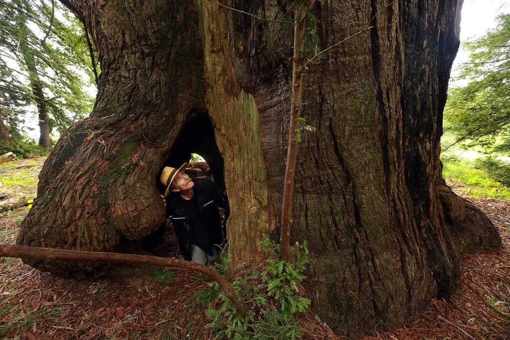 Owner Rip Goelet craws through a redwood tree in the 1420 acre coastal forest property near Stewart's Point. The forest presently offsets 103,000 tons of carbon with credits bought by carbon producing businesses. (Photo by John Burgess/The Press Democrat)