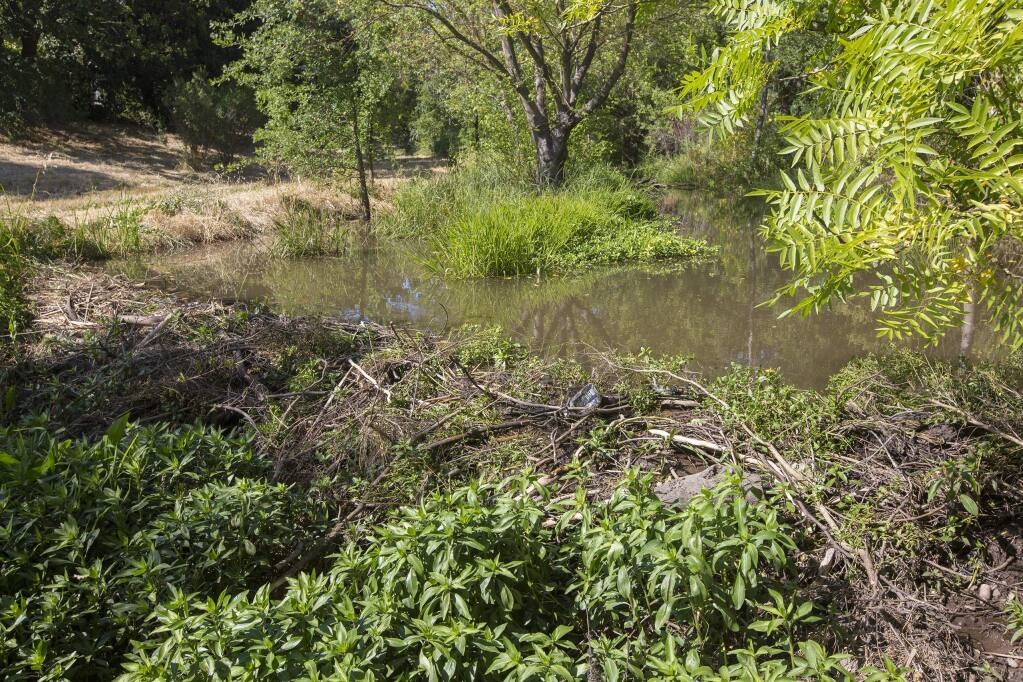 Beaver dams, such as this one in Sonoma Valley, are a healthy part of the ecosystem. (Robbi Pengelly/Index-Tribune)