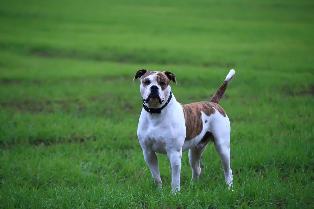Stock photograph of an American bulldog, similar to the one which attacked two people in Sonoma on Aug. 16. (Shutterstock)