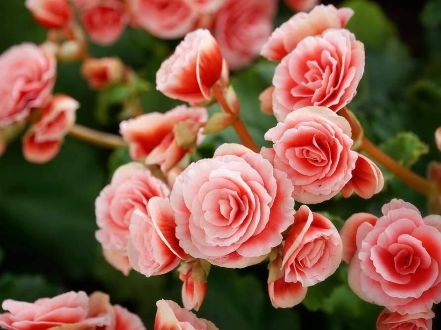 Garden Docs What S Eating My Begonia