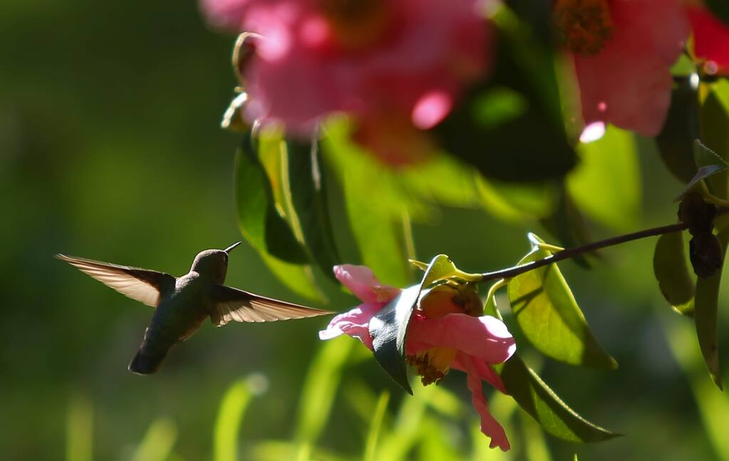 A hummingbird flits around gathering nectar from a camellia reticulata at the Quarryhill Botanical Garden in Glen Ellen. where tour docent training begins Wednesday, March 6. (Christopher Chung/ The Press Democrat)