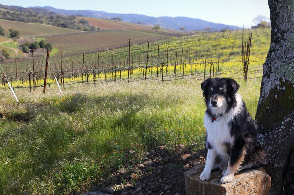 Cooper, Jeff Kunde's dog, helps to lead the various dog hikes that are held at Kunde Family Winery near Kenwood.(Christopher Chung/ The Press Democrat)