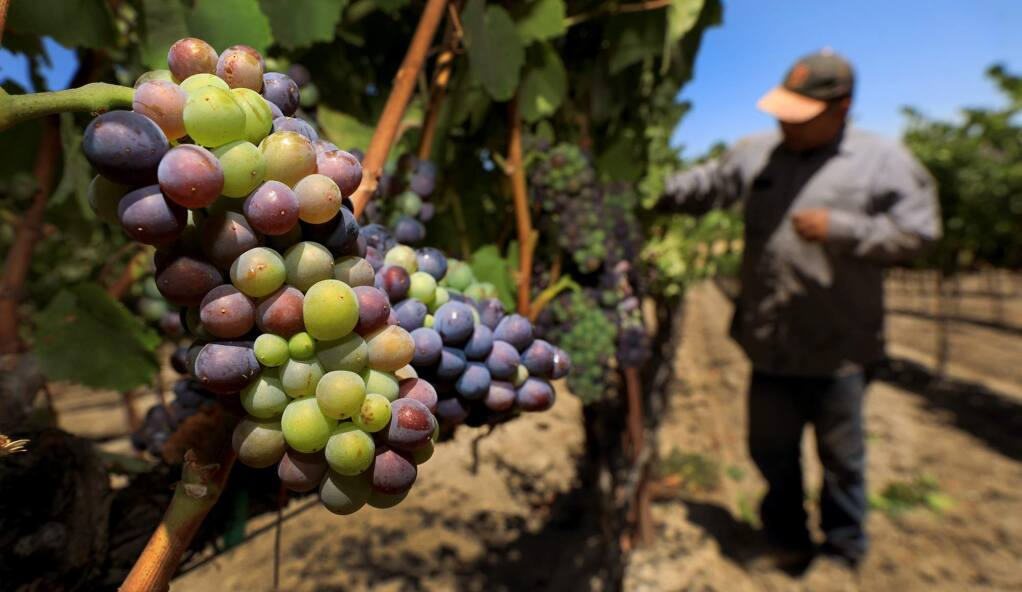 Cook Vineyard Management vineyard manager Luis Zamora pulls back leaves as pinot wine grapes begin Verasion, Wednesday, July 25, 2018 at the Kosich vineyard in the Sonoma Valley. (Kent Porter / The Press Democrat) 2018