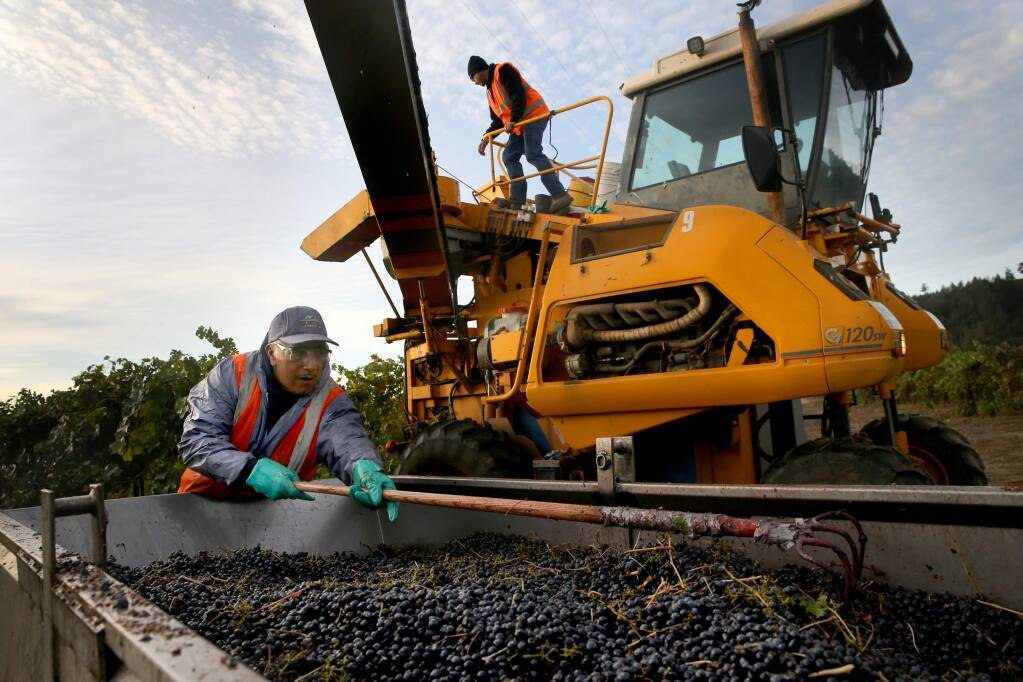 Petro Avila, left, and Martin Ibarra, top, employees of Vino Farms, a vineyard management company, harvest Cabernet Sauvignon grapes at Sallyvine Vineyard in Geyserville on Wednesday, October 31, 2018. (BETH SCHLANKER/ The Press Democrat)