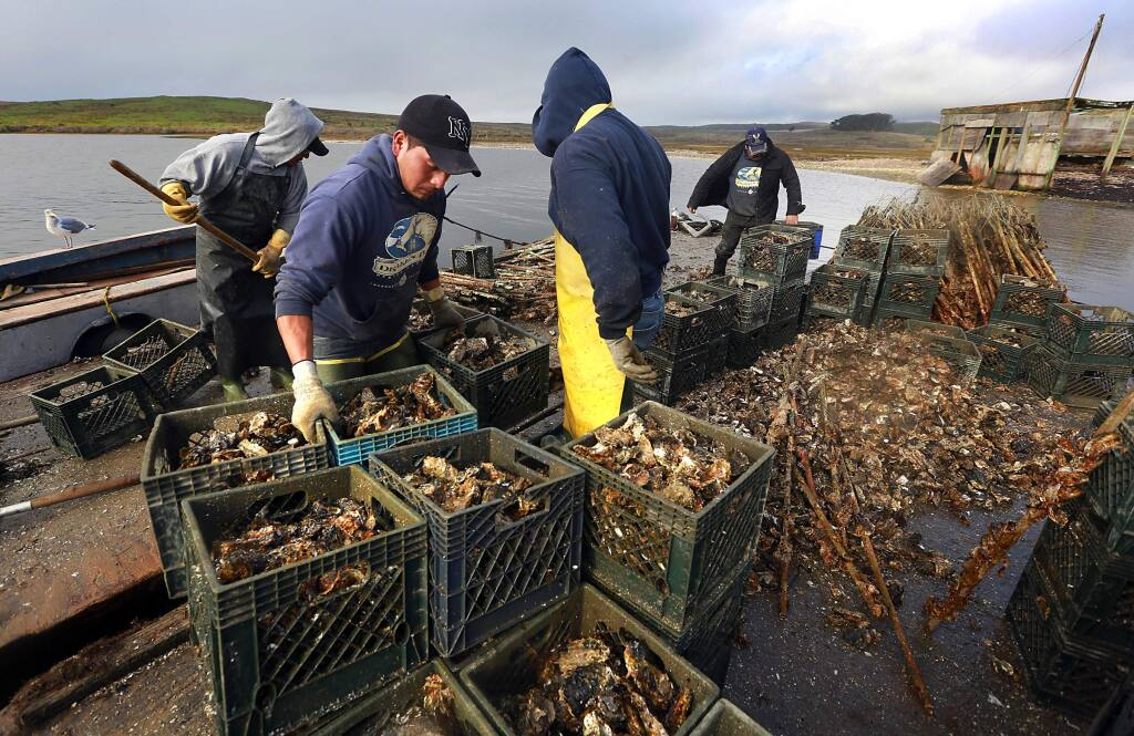 Christian Pablo, left, and the workforce at the Drakes Bay Oyster Company load thousands of oysters onto a barge as the company closes its operations in Point Reyes National Seashore. (Photo by John Burgess/The Press Democrat)