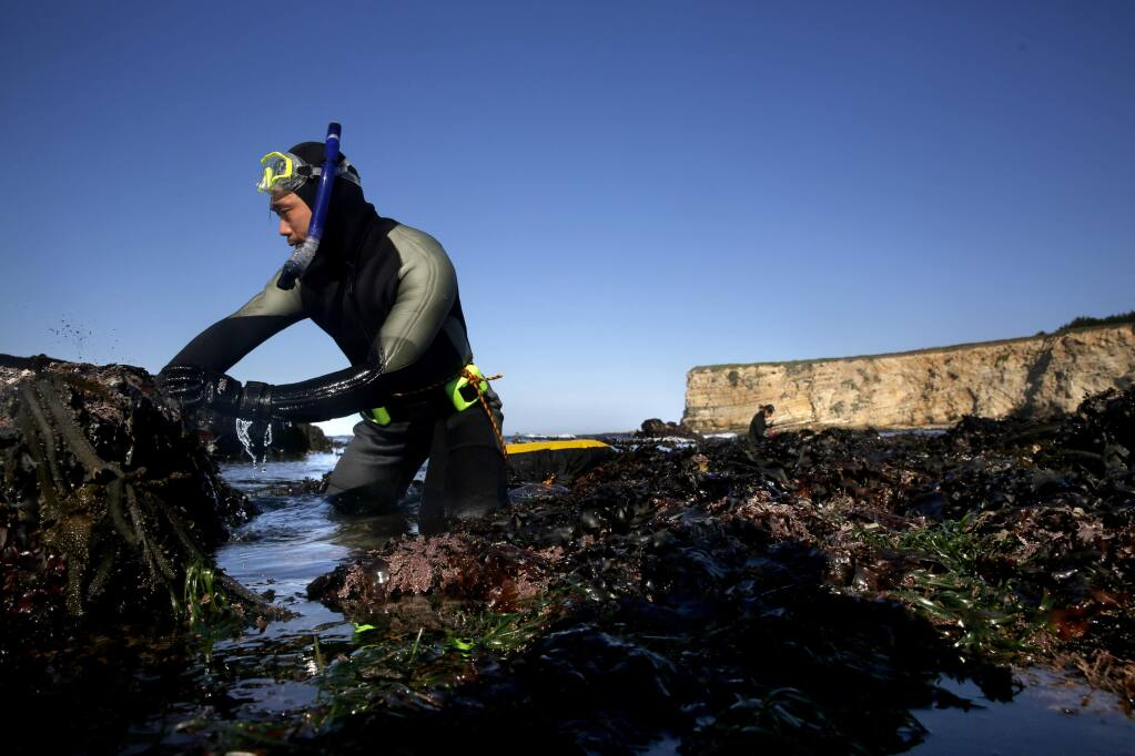 Diver Danny Gao feels the rocks for abalone at Moat Creek in Point Arena, on Monday, April 11, 2016. (BETH SCHLANKER/ The Press Democrat)