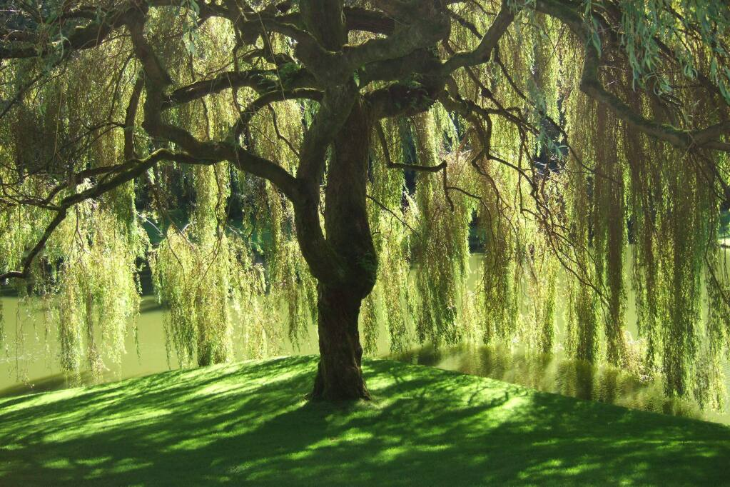In 'Weeping Willows,' Sonoma County poet Nell Griffith Wilson brought the trees to life as peaceful old men who are content in their retirement. (provided photo)